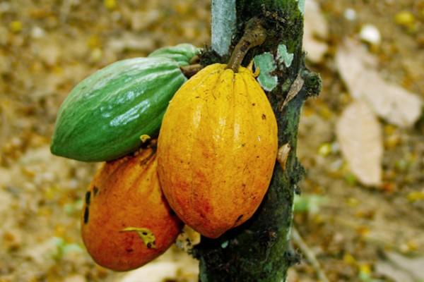 cacao-abidjan