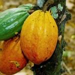 cacao-abidjan1