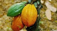 Le cacao ivoirien a déjoué toutes les prévisions annoncées. Pour le compte de l'année 2013, 2014, il était prévu, une récolte de 1,45 millions de tonnes de cacao. Ce chiffre […]