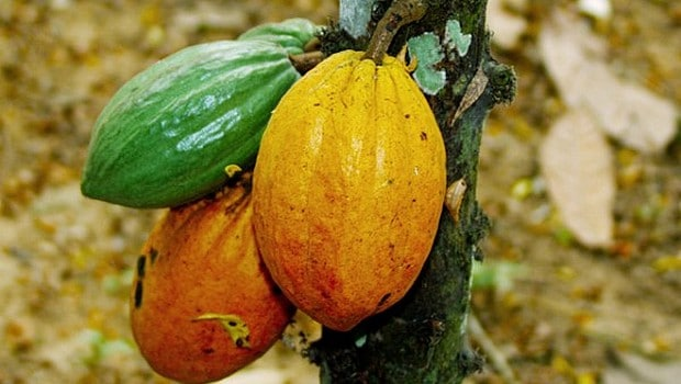 Cocoa: a new record for Ivory Coast
