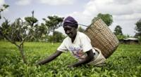 L'agriculture fait aujourd'hui travailler 60 % de la population africaine. Un secteur qui a aussi un impact sur l'environnement. Ironie du sort, à en croire nombre d'observateurs, cette agriculture et […]