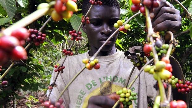 4801509_3_39cf_dans-une-plantation-de-cacaoyers-a-divo-en_373789e1659dc486f23ee5b818639ab7