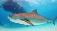 Une société spécialisée en high-tech, weFix, et l'ONG Shark Spotters ont collaboré afin de mettre au point un système censé éviter les attaques de requin. En conjuguant la surveillance depuis […]