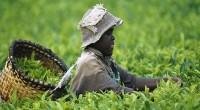 60% de terres arables non exploitées dans le monde se trouvent en Afrique. Si ces terres venaient à être exploitées, le continent pourra nourrir 9 milliards de personnes d'ici 2050, […]