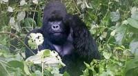 """Les scientifiques ont annoncé ce jeudi avoir mis au point un vaccin pour protéger les singes et chimpanzés contre le virus Ebola. Dénommé Filorab1, le remède a """"montré une résistance […]"""