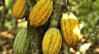 L'Organisation internationale du cacao (Icco), implantée à Londres depuis 1973 installera le 25 avril son siège à Abidjan, la capitale économique de la Côte d'Ivoire, premier producteur mondial de la […]