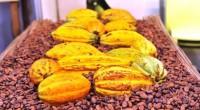 Paris – La forte chute des cours mondiaux du cacao inquiète la filière française du commerce équitable français pour l'avenir des petits producteurs et des risques de grave tension sociale […]
