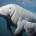 Après sa disparition dans la région de la Mondah, pour cause de braconnage, les environnementalistes attirent l'attention de la communauté nationale sur la menace de disparition du lamantin, du Bas-Ogooué. […]