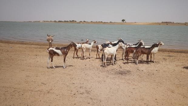 Quelques animaux en pâturage au bord du fleuve, Rharous