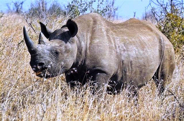 Côte d'Ivoire: le dernier rhinocéros sauvage de transféré dans une réserve