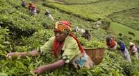 Alors que la production du thé au Kenya du moi de mai a connu une hausse 4-34 millions de kg pour s'établirà 420-450 millions kg par rapport aux estimations de […]