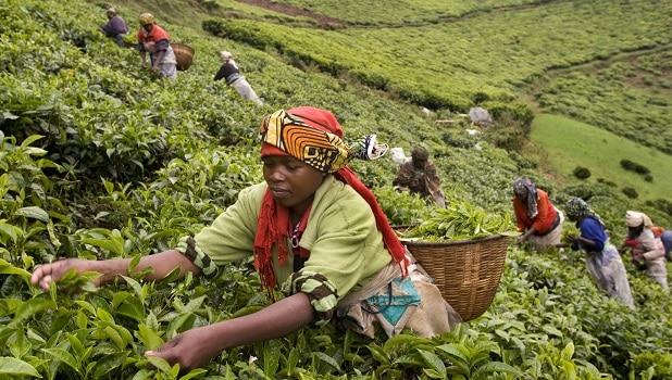 Rwanda-Tea-harvest