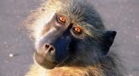 Dimanche 16 juillet 2017, à Livingstone la capitale touristique Zambienne, près de 50 000 habitants ont été privés d'électricité. Pour cause, un jeune babouin s'est perdu au milieu des câbles […]