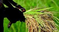 Dans le cadre du programme Grow Africa qui s'inscrit dans la ligne du Nouveau Partenariat pour le Développement de l'Afrique (NEPAD), les acteurs de la filière riz de la Côte […]