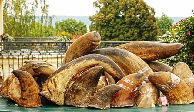 Afrique du Sud: première vente en ligne de cornes de rhinocéros