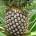 Le 26 septembre dernier, le Grow Africa de l'agence Nepad au Bénin s'est penché sur l'apport d'ananas dans l'économie du pays. L'ananas béninois, avec son goût particulier et un climat […]