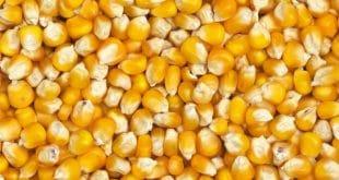 Togo : à combien acheter le maïs sur le territoire togolais ?