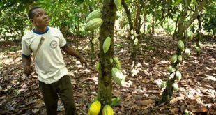 Togo : la filière café, cacao de Kloto nourrit plus de 50% de ses habitants