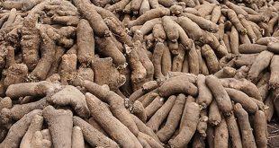 Togo :le paysan de Dankpen cultive au moins un hectare d'ignames /saison