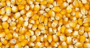 Togo: près de 886 630 tonnes de maïs produites de 2018-2019