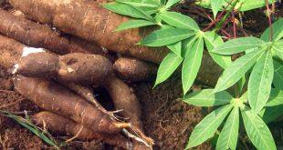 Togo: ITRA met à disposition des agriculteurs des variétés de manioc